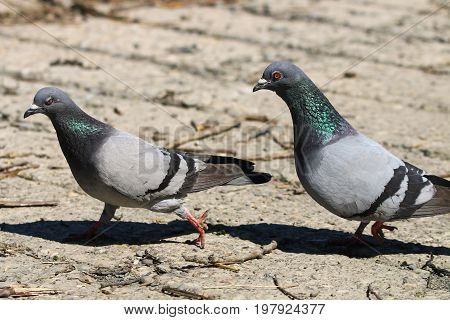 A male feral pigeon in pursuit of a female in courtship