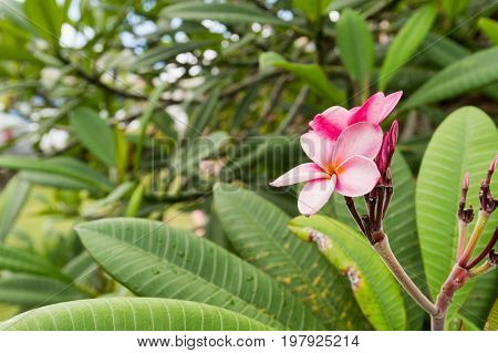 Plumeria frangipani pink flowers in Martinique, France.