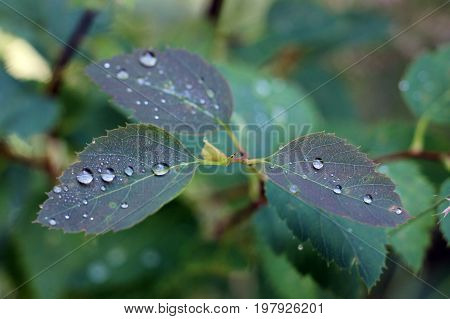 Morning dew on green leaves, in the forest