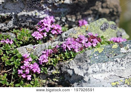 Beautiful pink flowers in the Fagaras mountains.