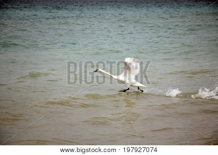 Swan  taking off - flying over sea