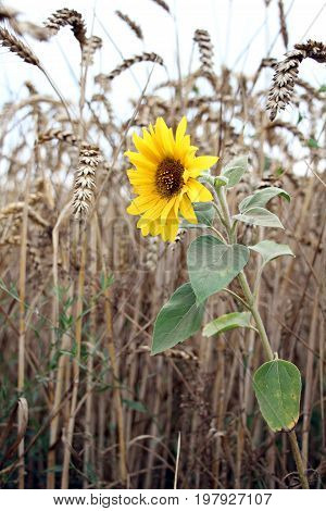 Blooming sunflower in wheat field - summer time