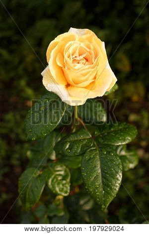 Yellow-orange Rose With Raindrops.