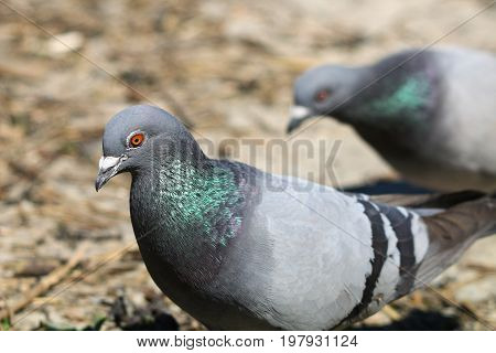A pair of feral pigeons with iridescent green neck feathers shining in bright sunlight