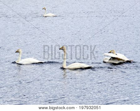 The whooper swans in Iceland July 7 2017