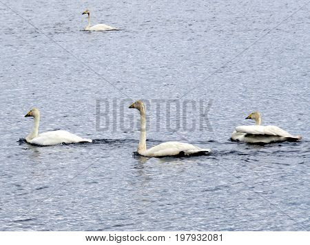 Whooper swans in Iceland July 7 2017