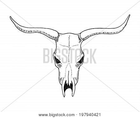 biology or anatomy illustration. engraved hand drawn in old sketch and vintage style. skull or skeleton silhouette. Bull or animal with horns