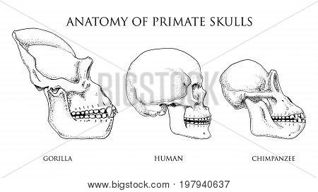 Human and chimpanzee, gorilla. biology and anatomy illustration. engraved hand drawn in old sketch and vintage style. monkey skull or skeleton or bones silhouette. view or face or profile