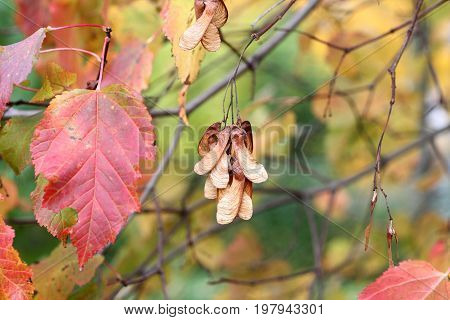 Autumn - pink leaves and key fruits on Amur maple