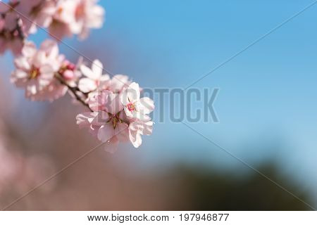 Pink Flowering Almond Trees Against Blue Sky. Copy Space. Copy Space. Blurred Background. Close-up.