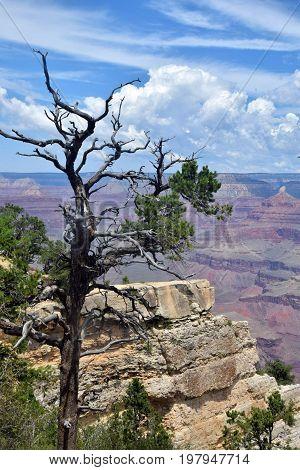 Dry tree on the edge of the Grand Canyon Arizona