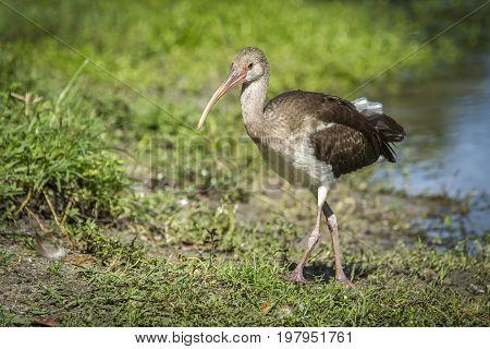 Juvenile ibis walks on grass in Deland Florida.