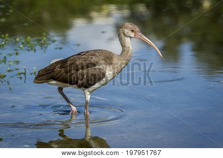 Young ibis wades in water in a calm pond in Deland Florida.