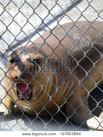 sea lion behind fence with mouth open