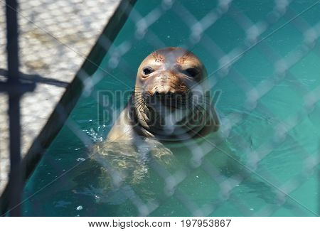 sea lion behind gate swimming in water