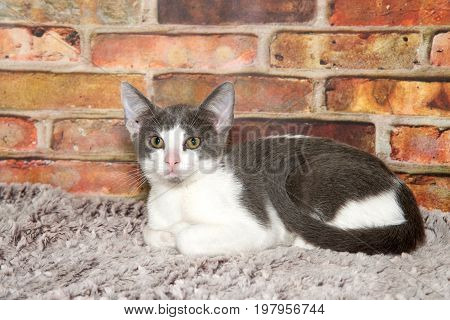 Small fluffy gray and white kitten with pink nose laying on a gray fuzzy carpet tail curled around her looking at viewer. Brick wall background.