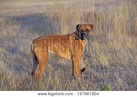 Boxer Male with stick standing in meadow watching