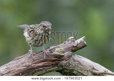 Young juvenile dunnock, hedge sparrow perched on a branch  looking inquisitive down to ground