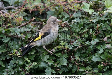 Juvenile goldfinch perched on a hedge looking to the right