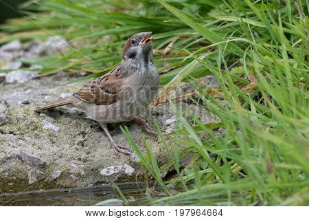 A juvenile tree sparrow perched on a rock by a pool drinking with its beak pointing up in the air