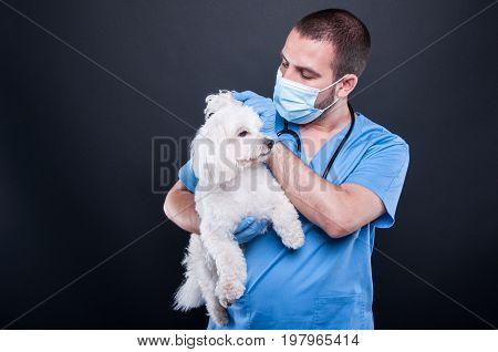 Veterinary Examining White Bichon Dog Ear