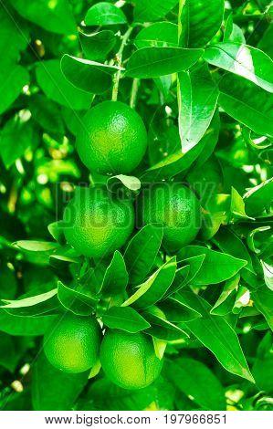 Green foliage and green orange tree fruit