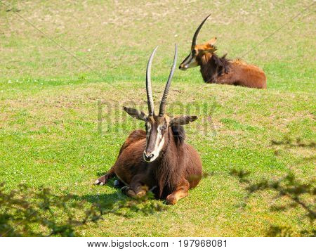 Female Sable antelope, Hippotragus niger, lying down