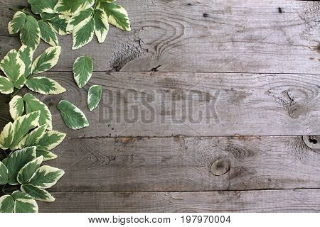 Frame from goutweed variegated leaves on old unpainted wooden background with copy space. Border is left. Place for text. Top view.