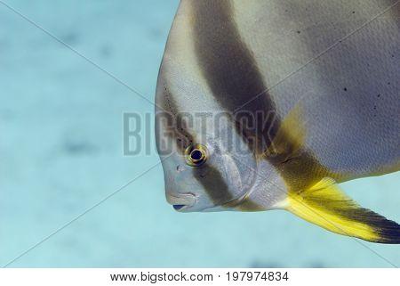 Orbicular Batfish Profile, Color Image, Underwater Image, Toned Image