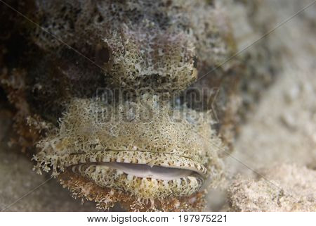 Portrait Of A Scorpionfish, Color Image, Underwater Image, Toned Image
