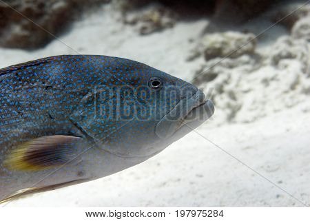 Spotted Coral Grouper, Color Image, Underwater Image, Toned Image