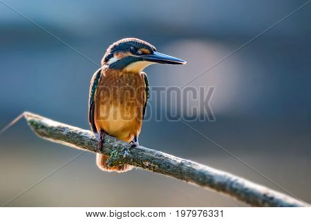 Close-up portrait of beautiful kingfisher or Alcedo atthis is sitting on a stone