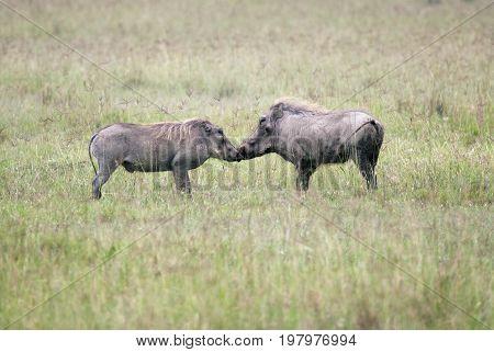 Mating games of a male and female warthog Kenya
