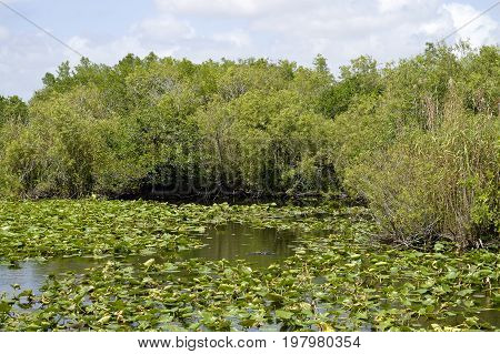 Alligator in the Everglades National Park in Florida