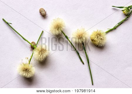 Two of the tick filled with blood on white paper among the dandelions. The concept - vectors of dangerous diseases beware!