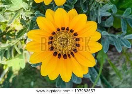 Summer landscape. Yellow flower gazania , closeup, macro against ground and grass
