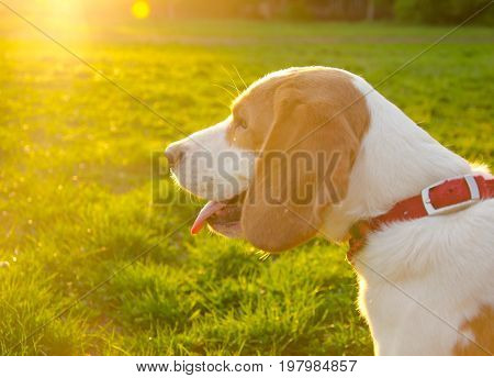 Blurred silhouette of a beagle puppy in the golden rays of sun light at the sunset (selective focus on the puppy tongue)