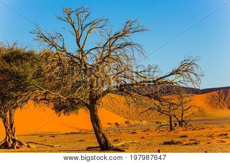 Namibia, South Africa.Three trees in a vast desert. Orange, purple and yellow dunes of the Namib desert. The concept of extreme and exotic tourism