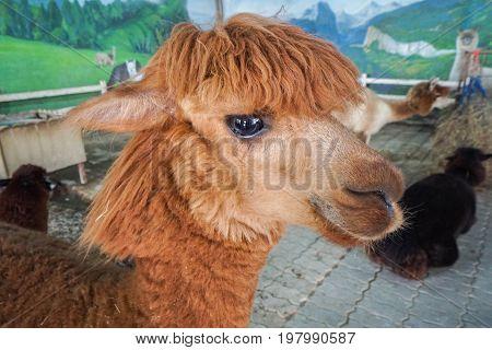 close up brown color alpaca animal face