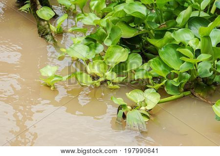 light green water hyacinth in dirty river