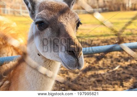 Portrait of young llama in zoo standing next to net