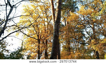 Autumn Picturesque Background. Colored Leaves On Trees In Autumn Forest. Beautiful Fall Nature.