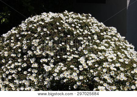 This Is An Image Of A Carmel, California Garden Bush In Full Bloom Taken In Early Morning April Suns