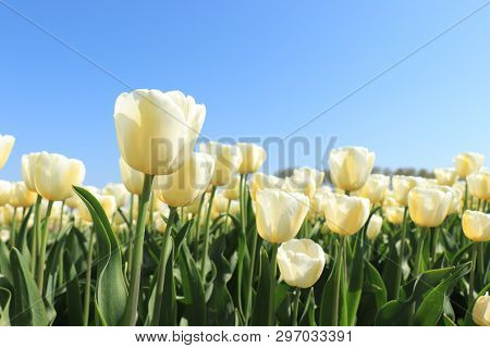 Field Full Of White Yellow Tulips And A Clear Blue Sky
