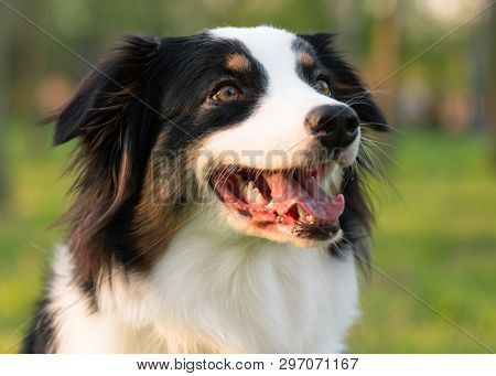 Close up portrait of adorable young Australian Shepherd dog during sunset at spring or summer park. Beautiful adult purebred Aussie outdoors in the nature.