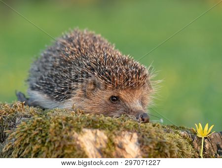 Common cute hedgehog on a stump in spring or summer forest during sunset. Young beautiful hedgehog in natural habitat outdoors in the nature.