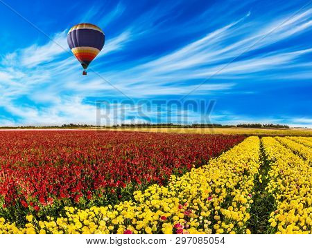 South of Israel, spring day. Farmer field of flowering red and yellow ranunculus. Light cirrus clouds in the blue sky. Early spring in Israel. Balloon flies over the flower field.