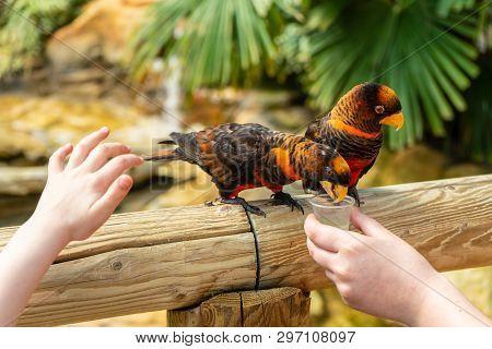 Dusky Lory, Pseudeos Fuscata At Woburn Safari Park