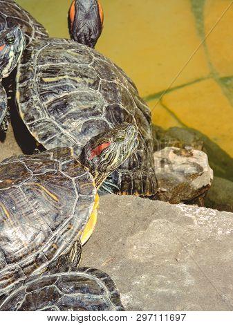 Red-eared Slider Trachemys Scripta Elegans Common Slider Turtle Wild Animal. Turtles ,turtles On The