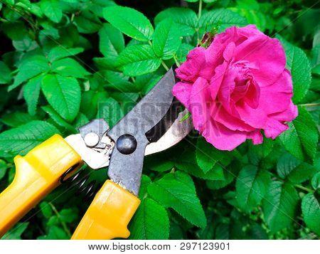 Gardener Cutting A Hedge With A Garden Pruner, Close Up. Single Pruner. Female Hands With Pruner Cut